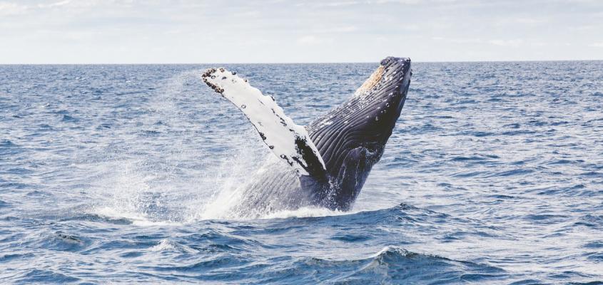 Aberta a temporada das Baleias Jubarte na Praia do Forte