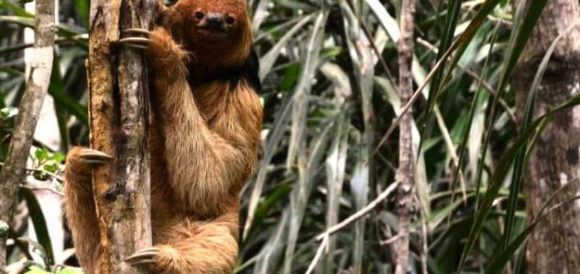 O projeto preguiça-de-coleira será lançado nos dias 14 e 15 de março em Praia do Forte